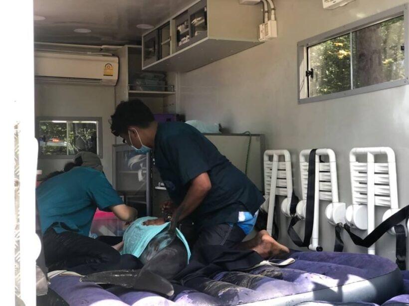Dolphin rescued near Nai Yang Beach | News by Thaiger