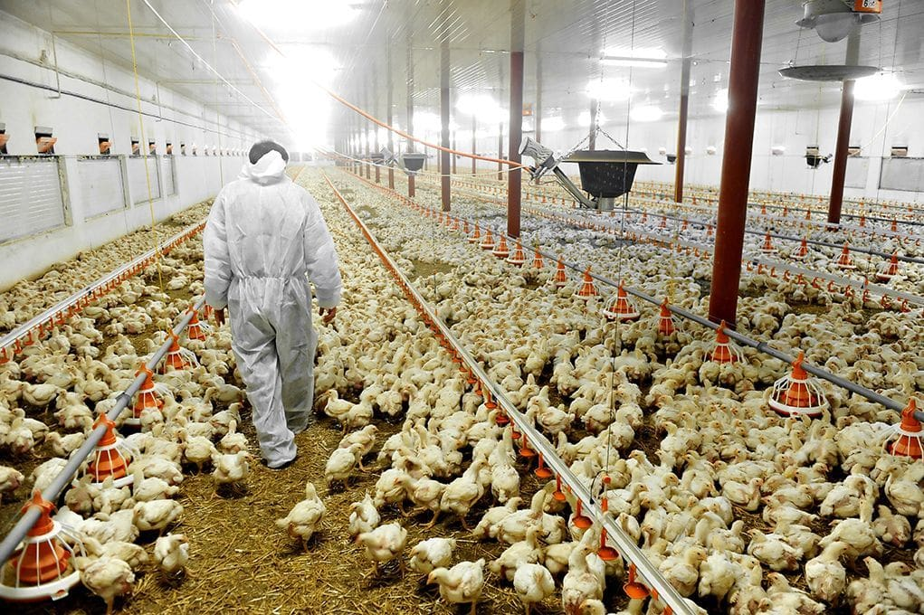 Import of birds and poultry from Russia suspended to avoid bird flu | The Thaiger