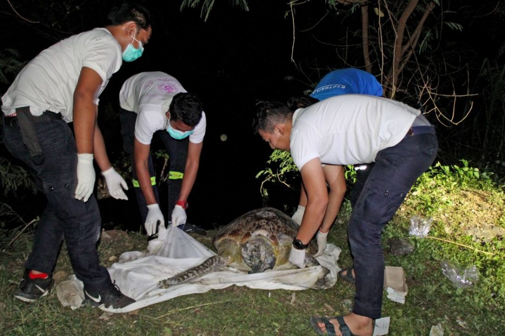 20 year old sea turtle found in the mangroves near Saphan Hin | News by Thaiger