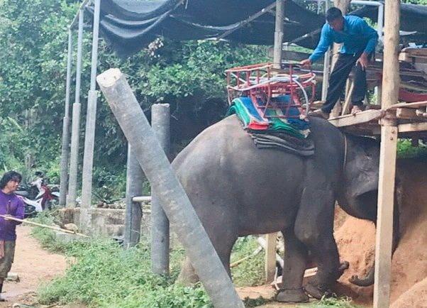 นักท่องเที่ยวแคนาดาพลัดตกจากหลังช้างได้รับบาดเจ็บ พื้นที่ ต.ฉลอง | The Thaiger