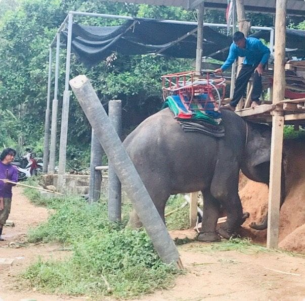 Canadian tourist in hospital after falling from an elephant ride | The Thaiger