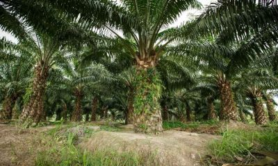 Government to give cash handouts to oil palm planters | The Thaiger