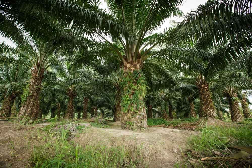 Government to give cash handouts to oil palm planters   The Thaiger