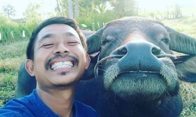 Buffalo smiles end up in tears   The Thaiger
