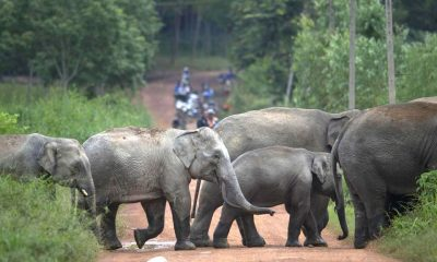 Wild elephants kill official in Chachoengsao | The Thaiger