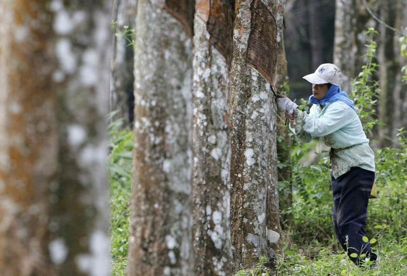 Cabinet agrees to bail out rubber planters and tappers | The Thaiger