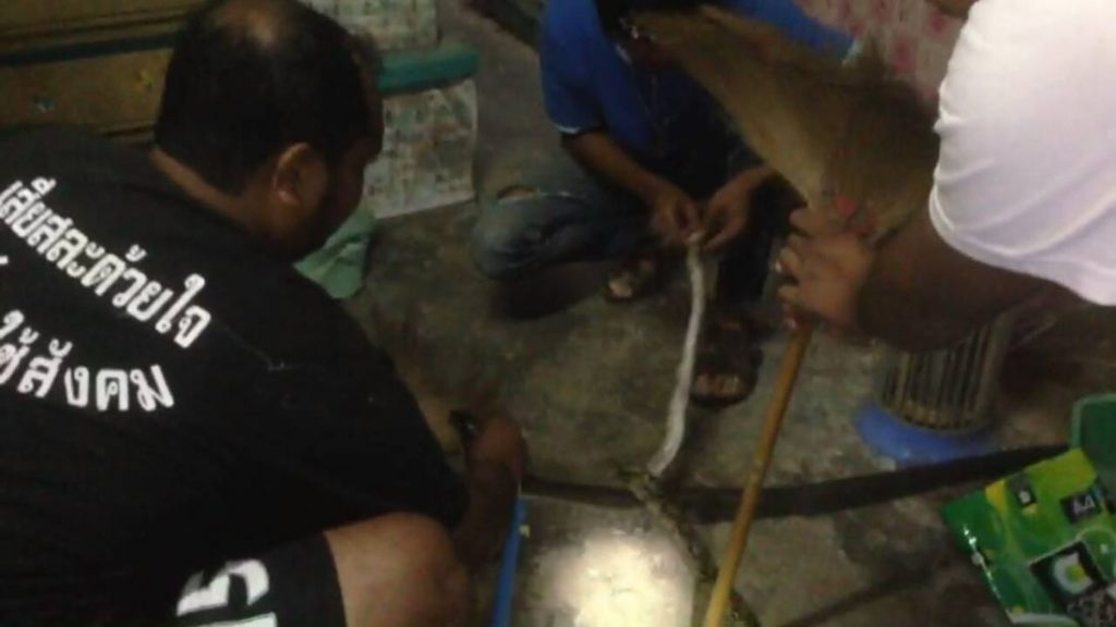 Krabi rescue workers stop a python and cobra fight - VIDEO | News by The Thaiger
