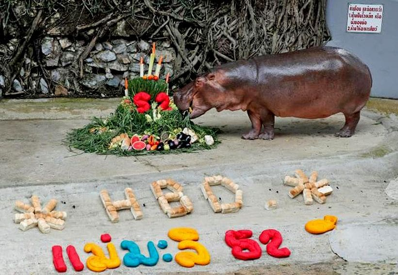 Famous 52 year old hippo gets a new home | The Thaiger