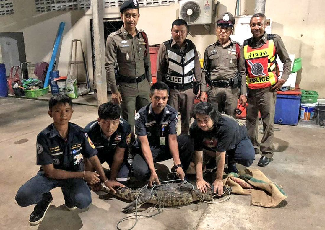 Wandering crocodile found at Krabi restaurant | The Thaiger