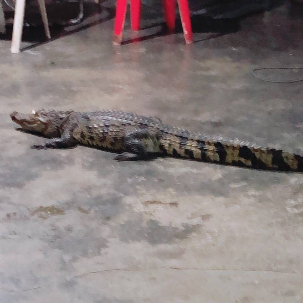 Wandering crocodile found at Krabi restaurant | News by The Thaiger