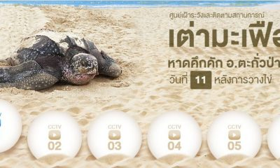 Watch leather back sea turtle eggs on Phang Nga beach via cams | The Thaiger
