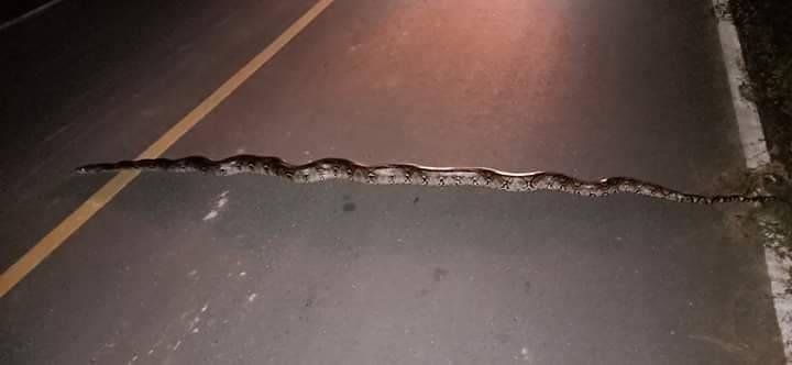 หนุ่มถึงกับผงะ!!!พบงูเหลือมเลื้อยขวางหน้ารถ ลงไปดูถึงที่ถึงกับอุทาน