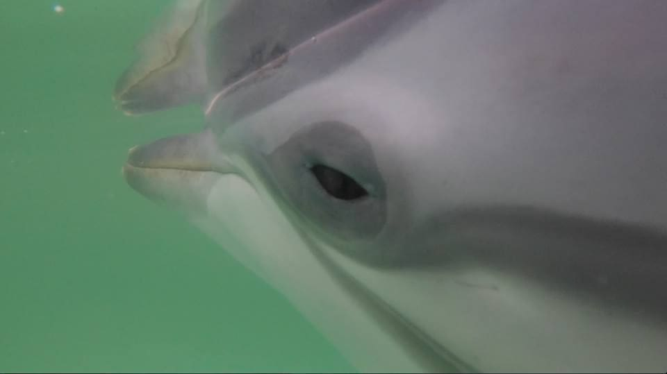 Young dolphin died from natural causes | News by Thaiger