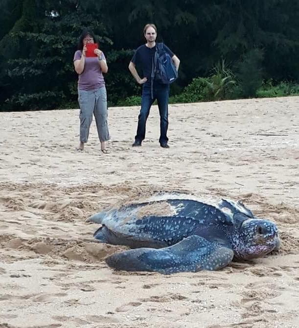 Big leatherback sea turtle lays eggs in Phang Nga - VIDEO | News by The Thaiger