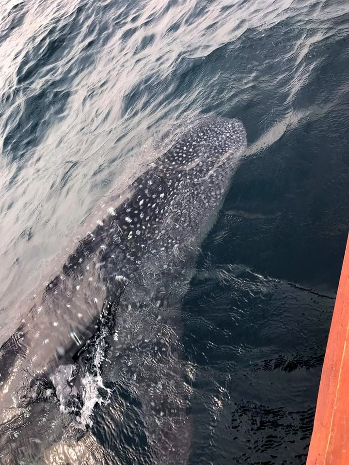 Two whale sharks sighted off Kamala Beach   News by Thaiger