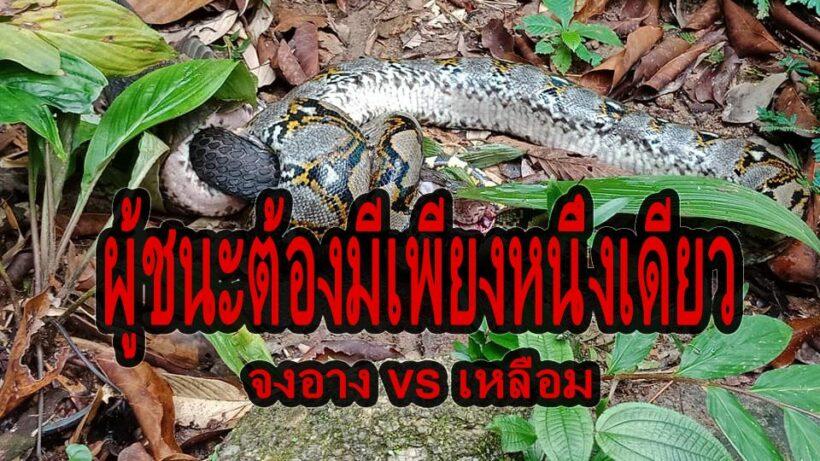 ระทึก! งูเหลือมปะทะงูจงอาง ศึกนี้ใครจะอยู่ใครจะไป – คลิป | The Thaiger