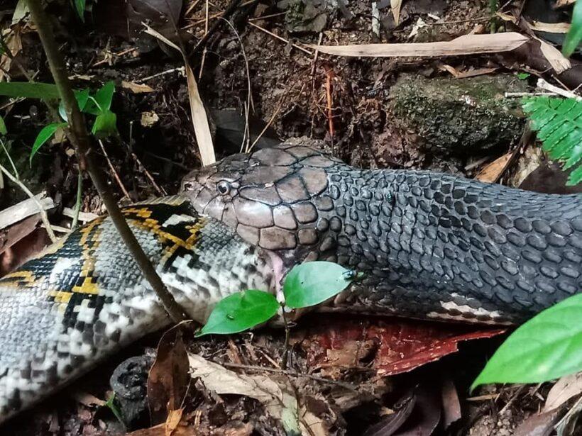 ระทึก! งูเหลือมปะทะงูจงอาง ศึกนี้ใครจะอยู่ใครจะไป - คลิป | News by The Thaiger