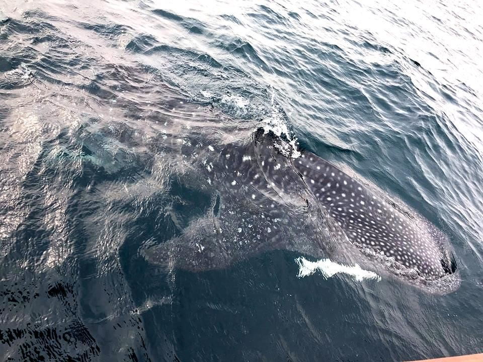 Two whale sharks sighted off Kamala Beach | The Thaiger