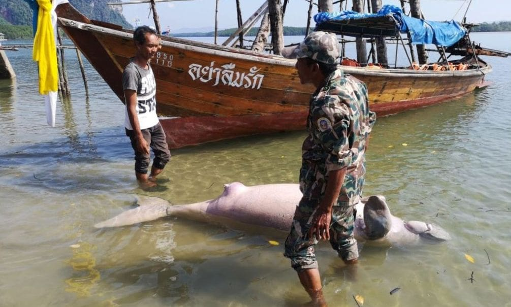 Pregnant dugong killed by boat propellor | The Thaiger