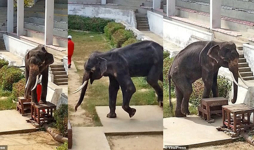 Tourists complain about thin elephant being forced to do party tricks | The Thaiger