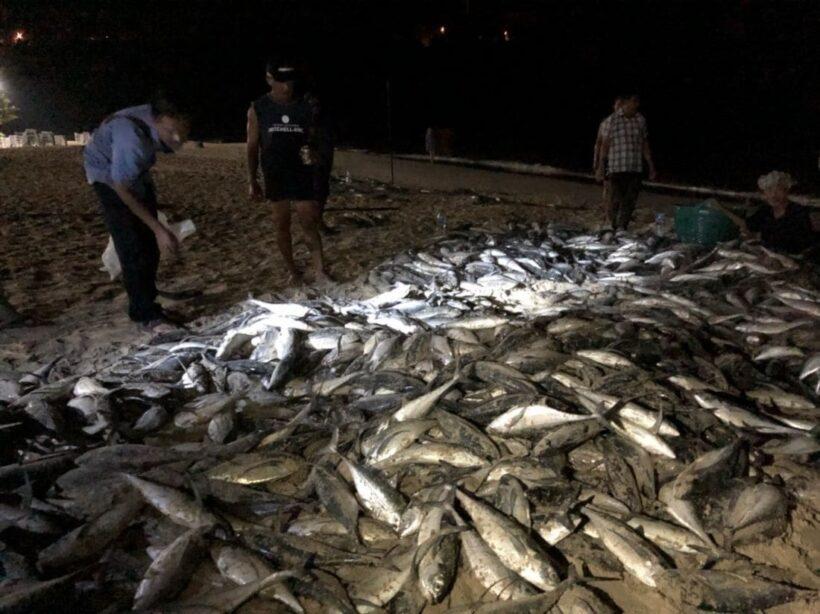 Many fish caught at Nai Harn Beach – normal phenomenon | The Thaiger