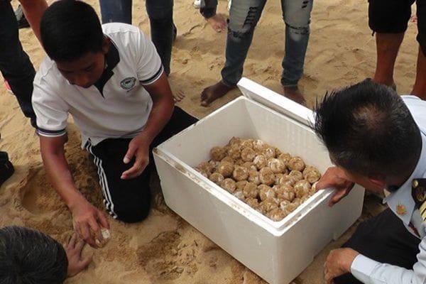 ย้ายไข่เต่ามะเฟือง 89 ฟอง พบวางไข่ มากถึง 93 ฟอง แตก 4 ฟอง | News by The Thaiger