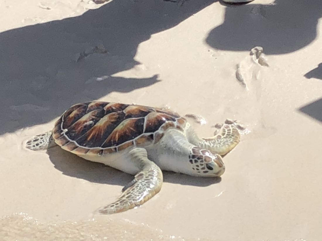 Boon Rawd – the reluctant sea turtle | The Thaiger