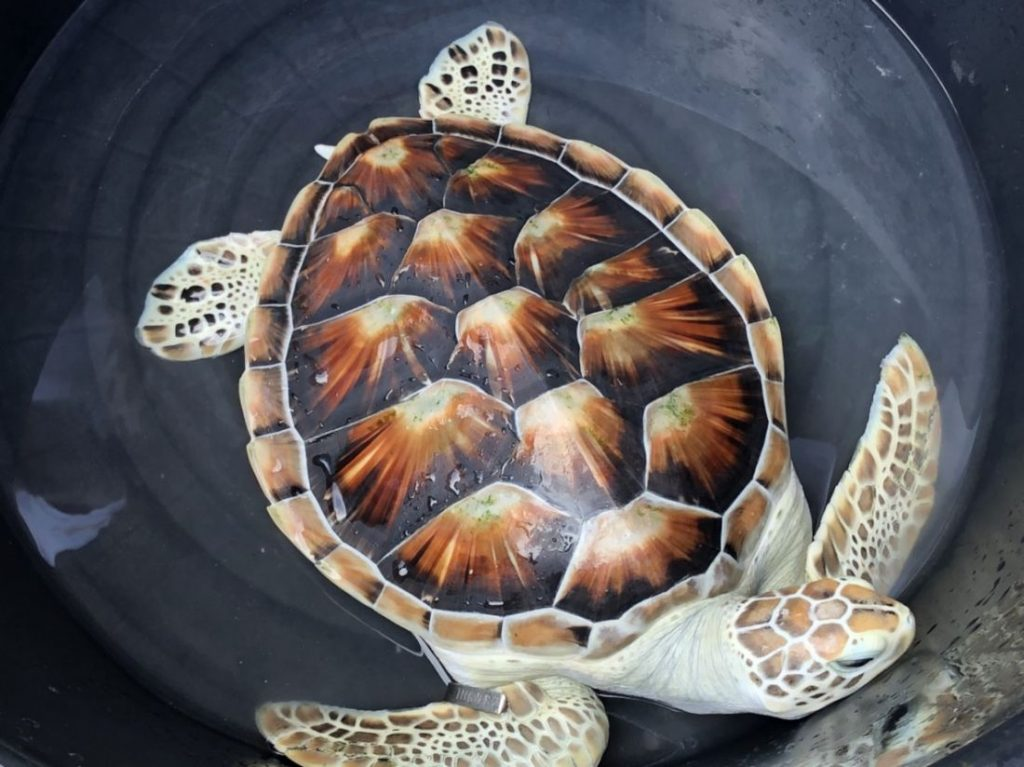 Boon Rawd - the reluctant sea turtle | News by The Thaiger