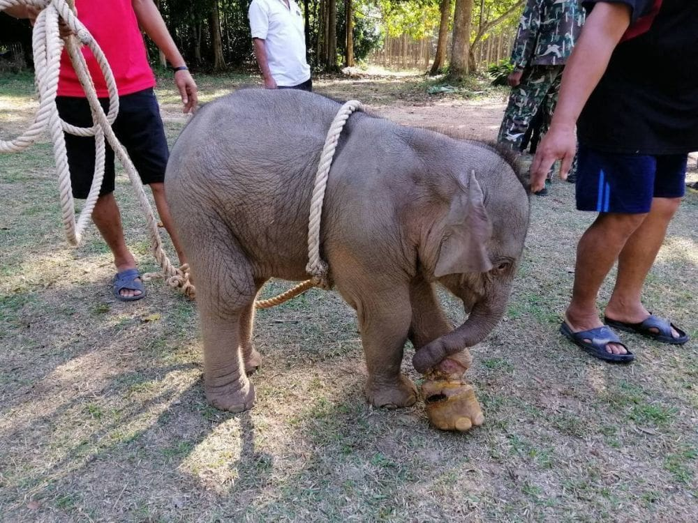 Baby elephant saved after being snared in a hunter's trap   News by Thaiger