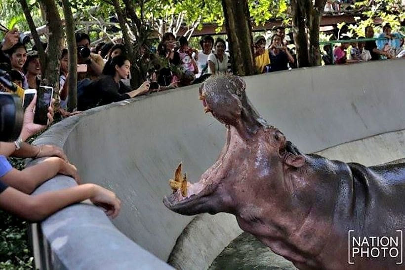 Famous 52 year old hippo gets a new home | News by The Thaiger