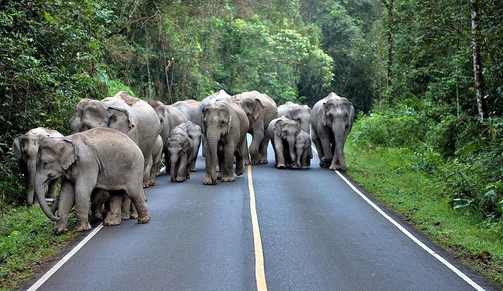 Living with elephants – avoiding problems in Khao Yai national park | The Thaiger
