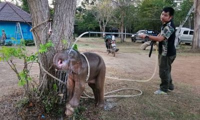 Baby elephant saved after being snared in a hunter's trap | The Thaiger