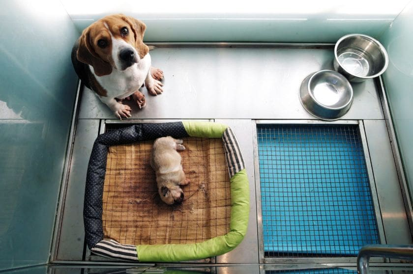Dog cloning service in China starts at 1.8 million baht | News by The Thaiger