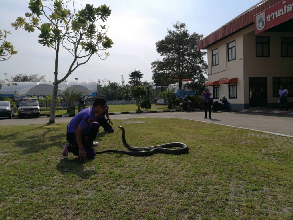 Five metre king cobra caught with bare hands in Krabi | News by Thaiger