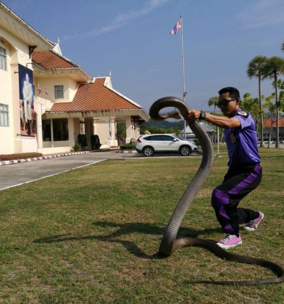 Five metre king cobra caught with bare hands in Krabi | The Thaiger