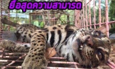 สุดความสามารถแล้ว! แมวดาวบาดเจ็บ เสียชีวิตแล้วด้วยอาการแทรกซ้อน | The Thaiger