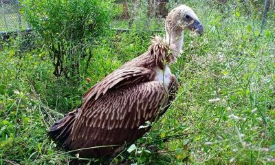 Himalayan griffon vulture found in a Krabi rubber plantation after storm | The Thaiger