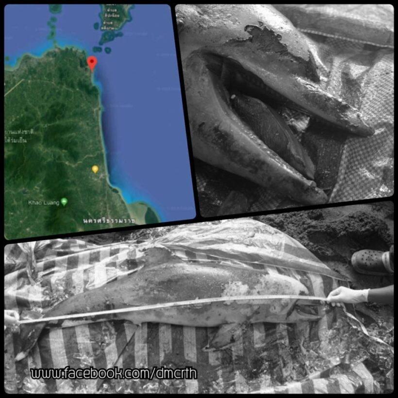 Bottlenose dolphin found dead on Nakhon Si Thammarat beach | The Thaiger