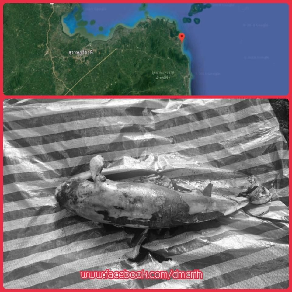 Finless porpoise found dead in Nakhon Si Thammarat after Pabuk | The Thaiger