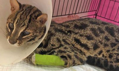 UPDATE: Leopard Cat recovering after car accident with Soi Dog Foundation vets | The Thaiger