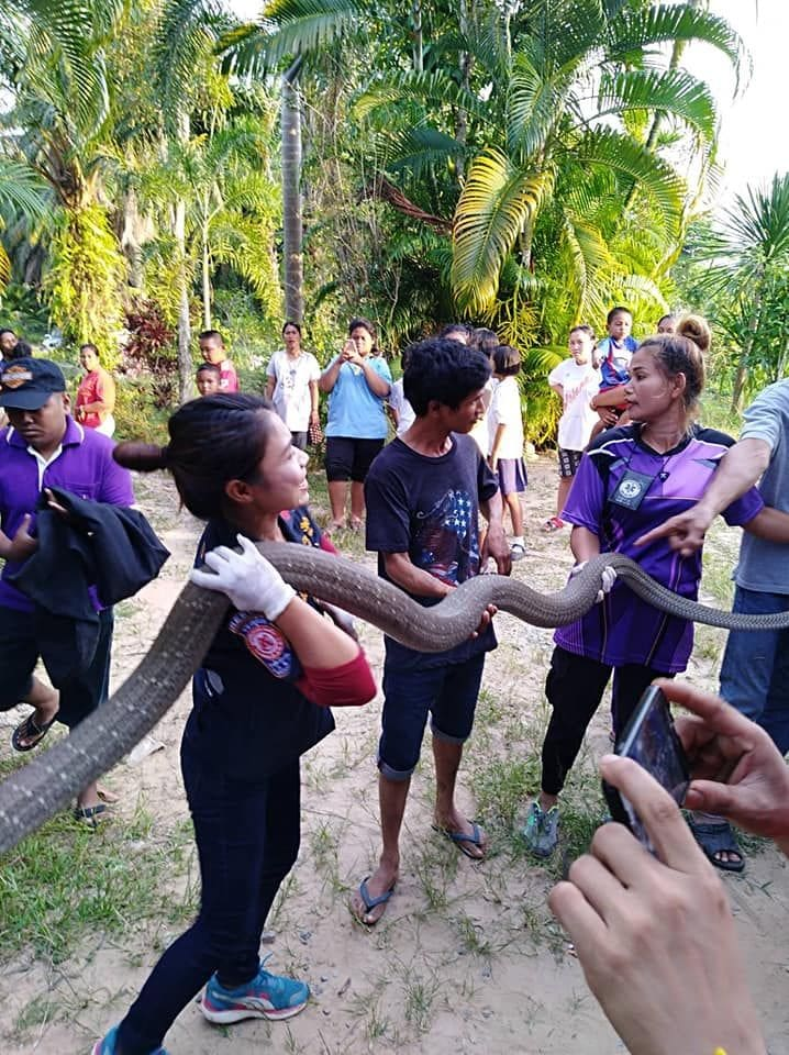 Six metre king cobra caught by rescue workers in Trang - VIDEO | News by The Thaiger