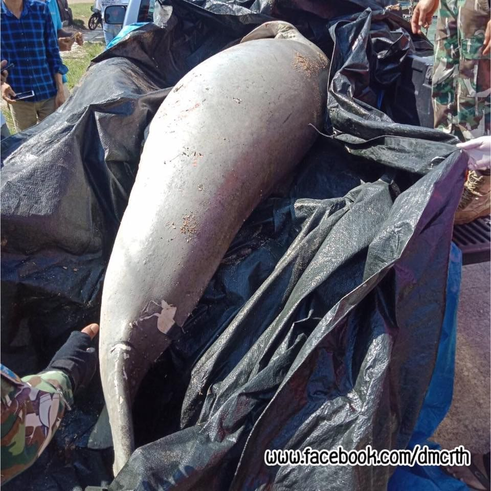 Dugong found dead at Phang Nga Beach | News by The Thaiger