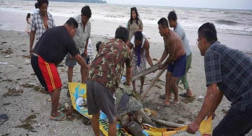 Sea Turtle found dead on Chumpon beach, choked on plastics | News by The Thaiger
