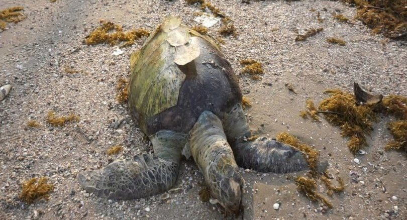 Sea Turtle found dead on Chumpon beach, choked on plastics | The Thaiger