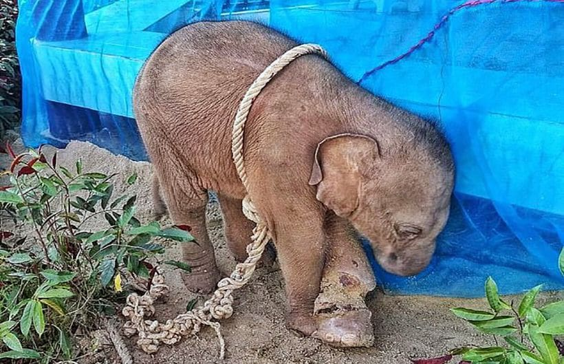 Baby elephant dies from horrific wounds after being caught in hunter's trap | The Thaiger