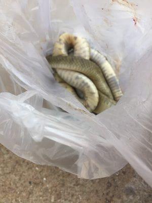 หนุ่มเมียนมาจับงูเห่า หวังทำกับแกล้ม โดนพ่นพิษใส่ตา   News by The Thaiger