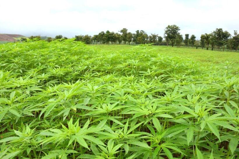 [Image: First-Legal-Cannabis-Farm-In-Thailand-mcig.jpg]