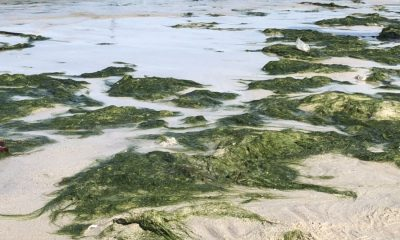 Lots of green seaweed washed up on Patong Beach | The Thaiger
