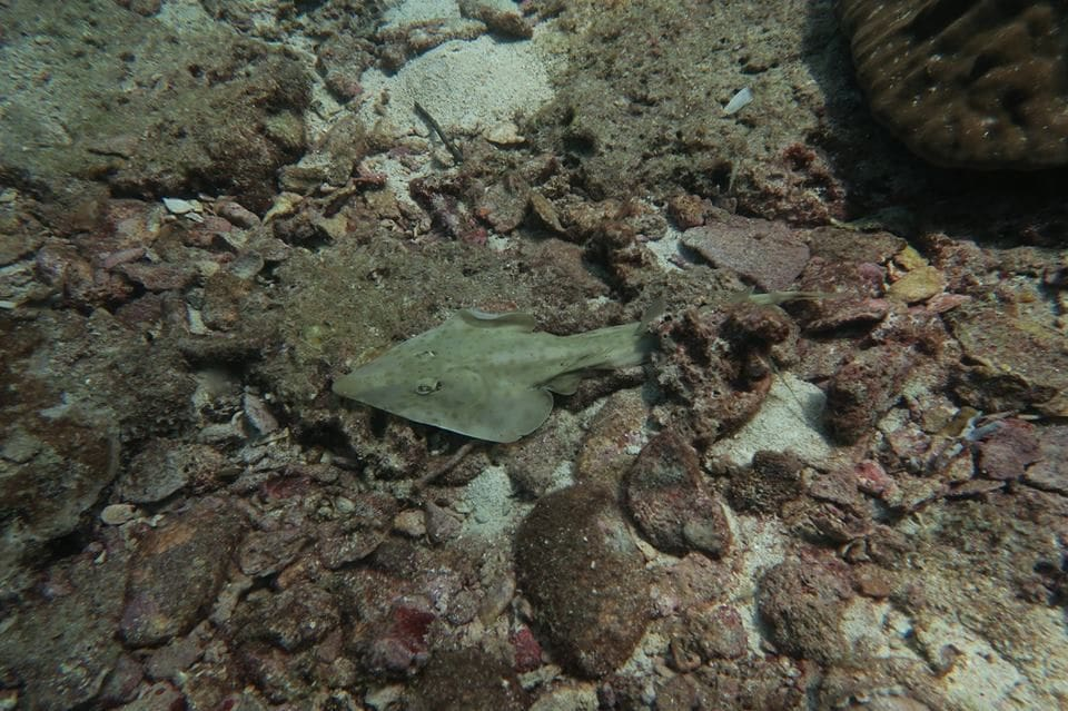 Conservationists call for the protection of Guitarfish and Electric rays | News by The Thaiger