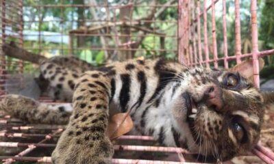 UPDATE: Phuket's injured Leopard Cat dies | The Thaiger